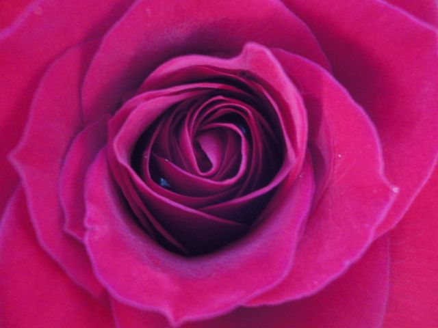 Magenta rose -- the inspiration for my latest story.