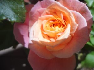 talisman rose:full