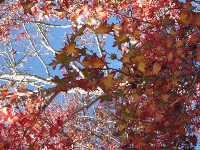 liquidambars:fall leaves